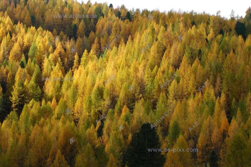 larches in autumn-color