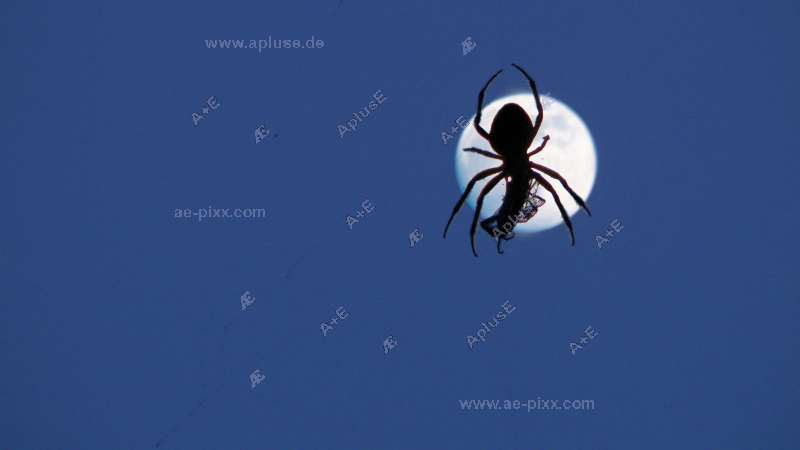 Kreuzspinne mit Beute in ihrem Netz als Silhouette vor dem Mond
